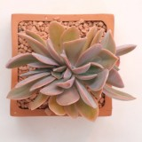 Graptoveria Fred IvescristataA  768x768
