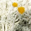 Senecio haworthioides floraison 768x768