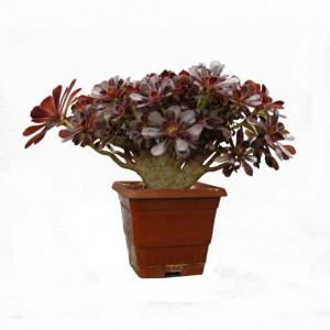 Aeonium arboreum schwartzkopf cristata-1