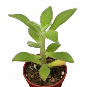 Echeveria-coccinea-1