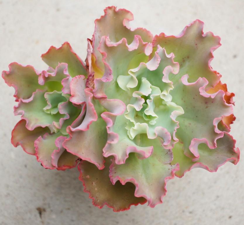 Echeveria crenulata x carnicolor 2