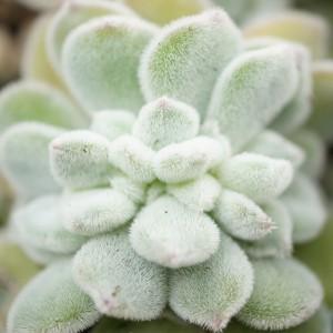 Echeveria-pulvinata-Frosty-cristata-1