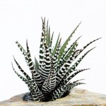 Haworthia-fasciata-Big-Band