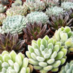 mini plantes grasses
