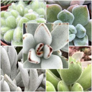 Plantes duveteuses